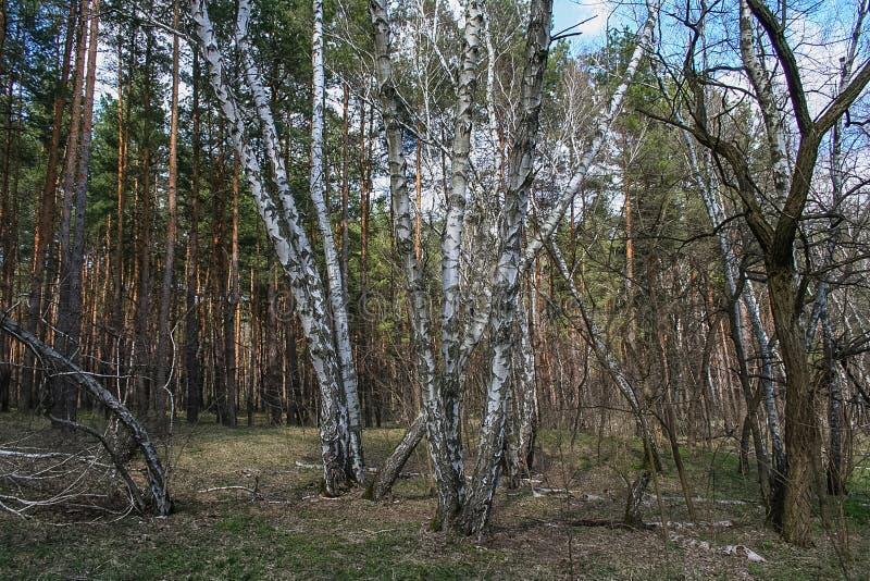 Debrowski a floresta fotos de stock royalty free