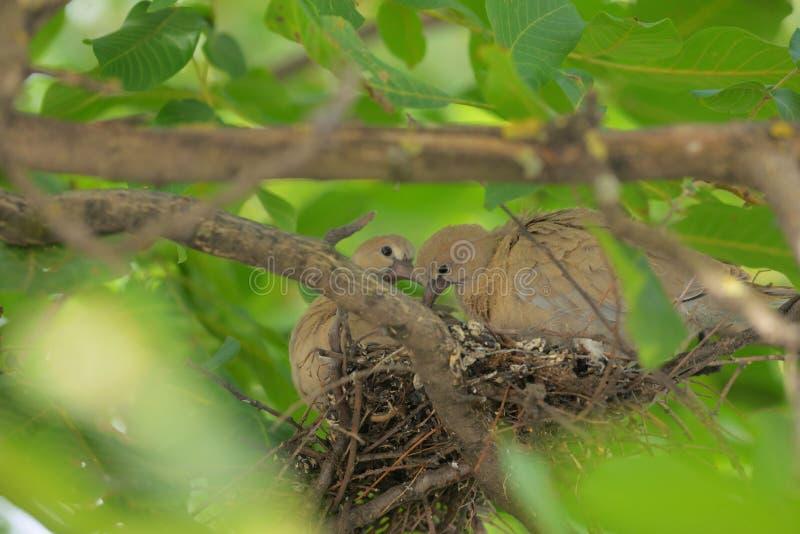 Decaocto di Streptopelia della colomba dei giovani fotografia stock