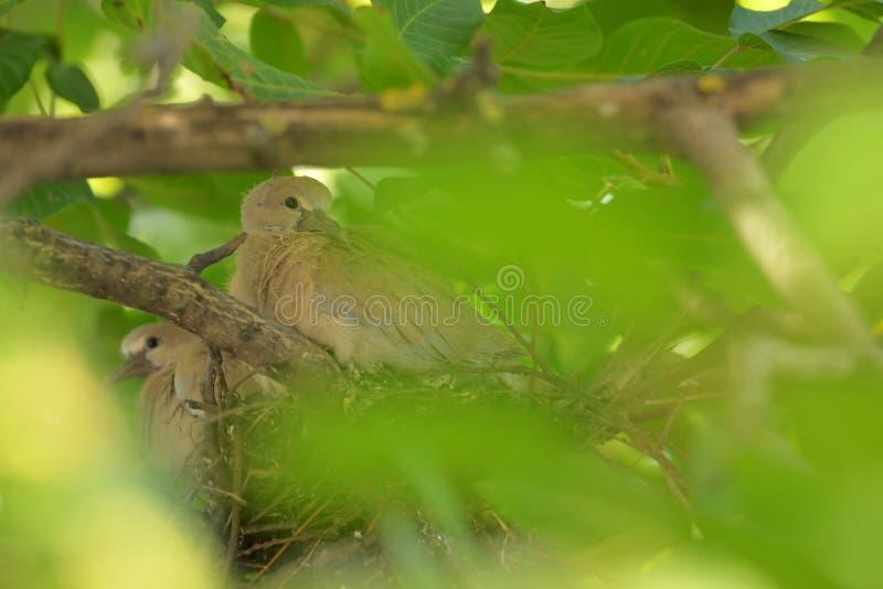 Decaocto di Streptopelia della colomba dei giovani fotografie stock