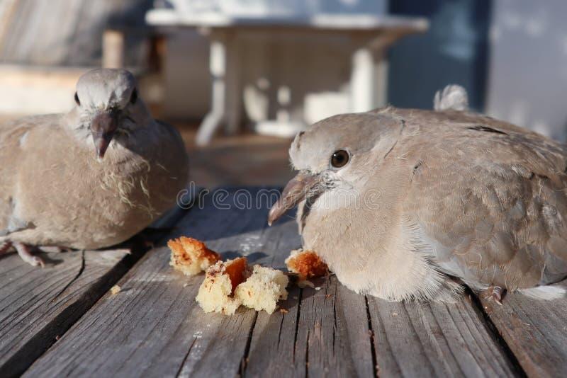 Decaocto die van de duifstreptopelia van de paartortelduif paneert Europees-Aziatische collared wat eten openluchthuistuin stock foto