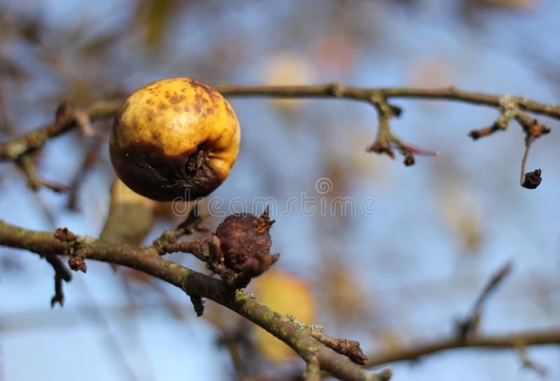 Decayed apple on tree royalty free stock images