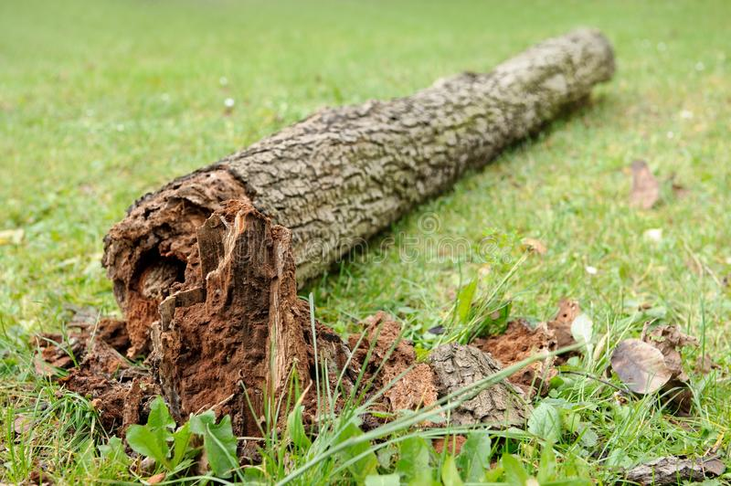 Decayed fallen tree stock images