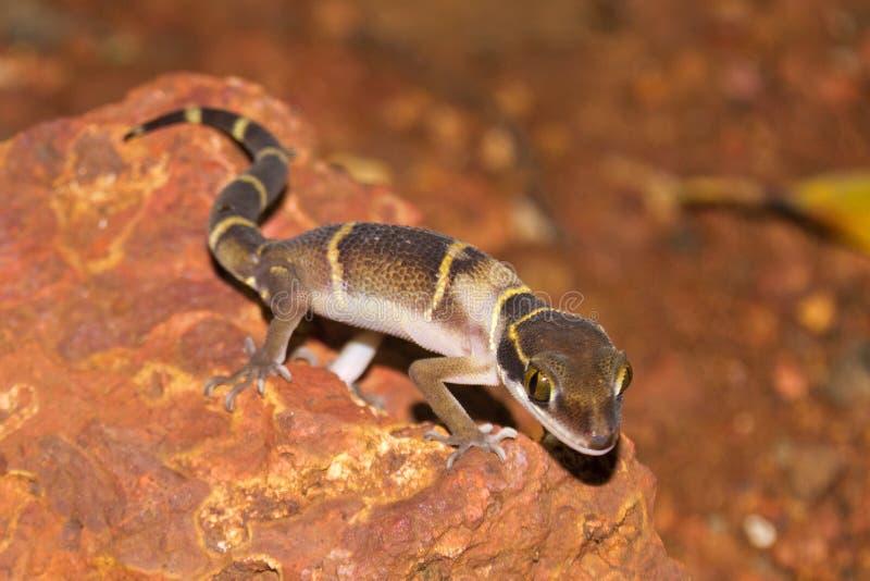 Deccan versah Gecko u. x28 mit einem Band; Geckoella-deccanensis& x29; stockfotografie