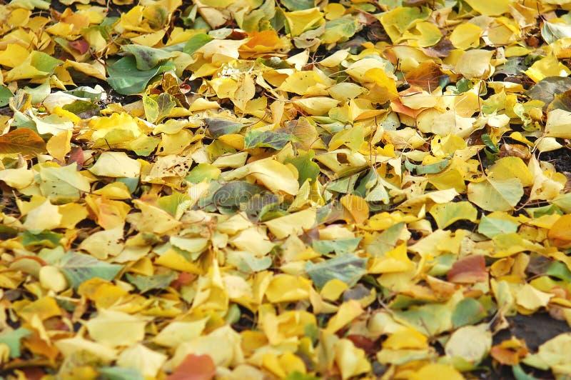 Deciduous ściółka od mieszanki spadać jesieni topoli i brzozy liście jesienią zbliżenie kolor tła ivy pomarańczową czerwień liści zdjęcie stock