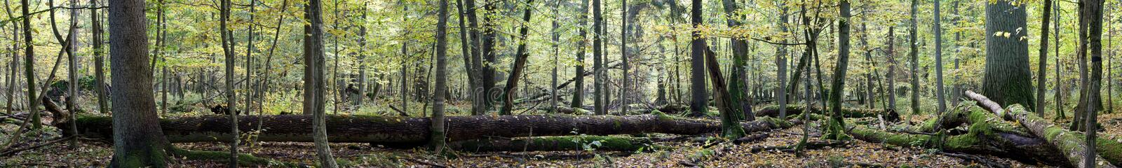 Deciduous autumnal forest panorama. Natural european deciduous autumnal forest panorama with dead tree lying stock image
