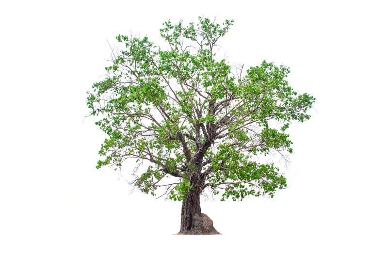 Deciduous banyan tree stock photography