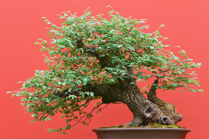 Download Deciduous Bonsai Ree Stock Photography - Image: 21507382