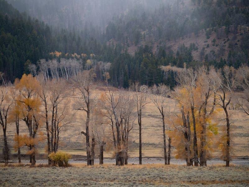 Deciduous drzew gubienie Ich liście w Lamar dolinie w Yellowstone parku narodowym zdjęcia stock