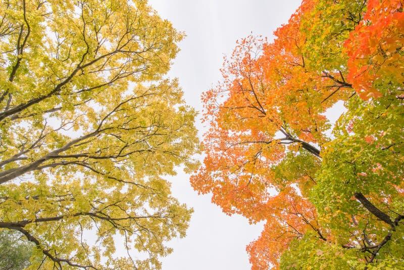 Deciduous drzewa w jesieni z krzesanie spadku kolorowymi liśćmi pomarańcze, czerwień, zieleń i kolor żółty, - nabierający Powderh obraz stock