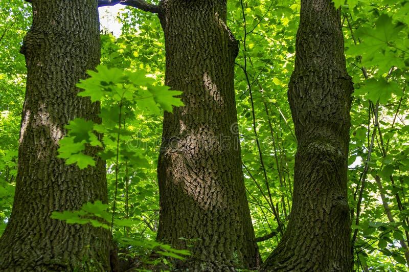 Deciduous drzewo z potrójnym bagażnikiem obraz stock