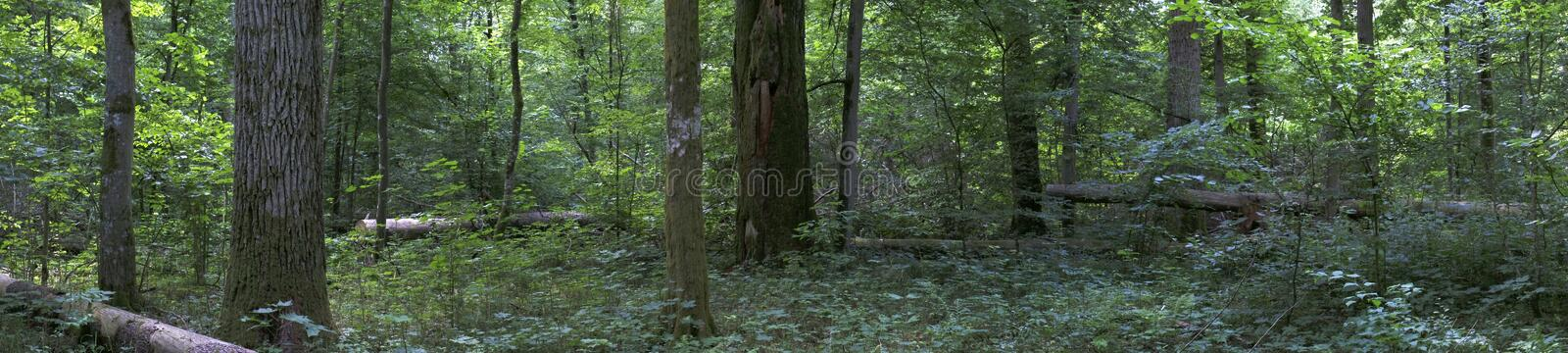 Deciduous forest landscape with old oak trees. In summer panorama, Bialowieza forest, Poland, Europe stock photography