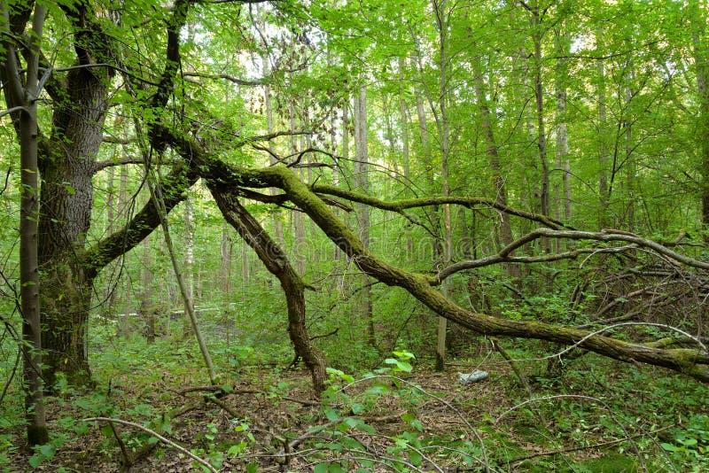 Deciduous las przy latem zdjęcie royalty free