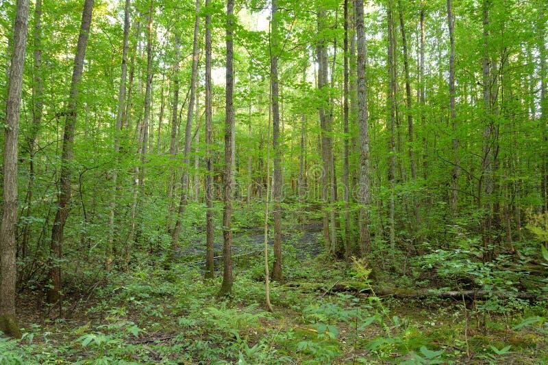 Deciduous las przy latem obraz royalty free