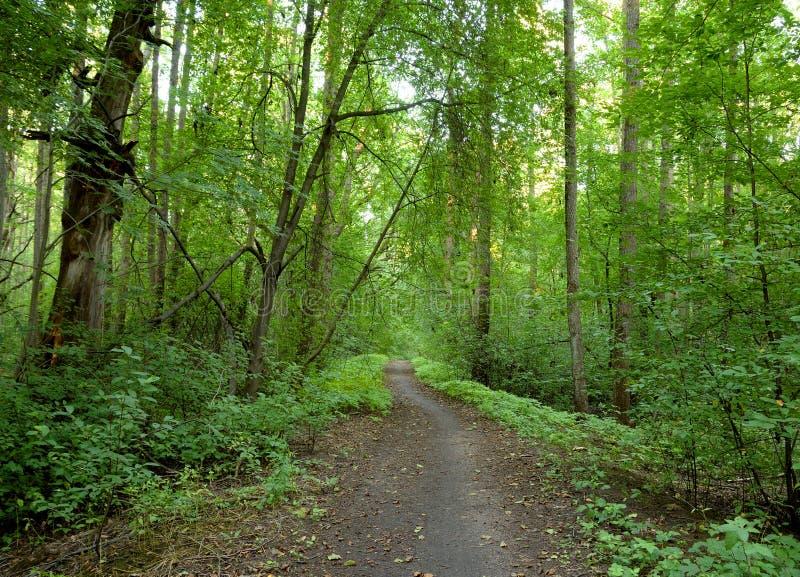 Deciduous las przy latem fotografia royalty free