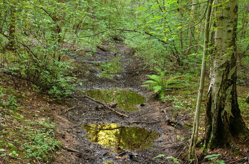 Deciduous las przy latem zdjęcia royalty free