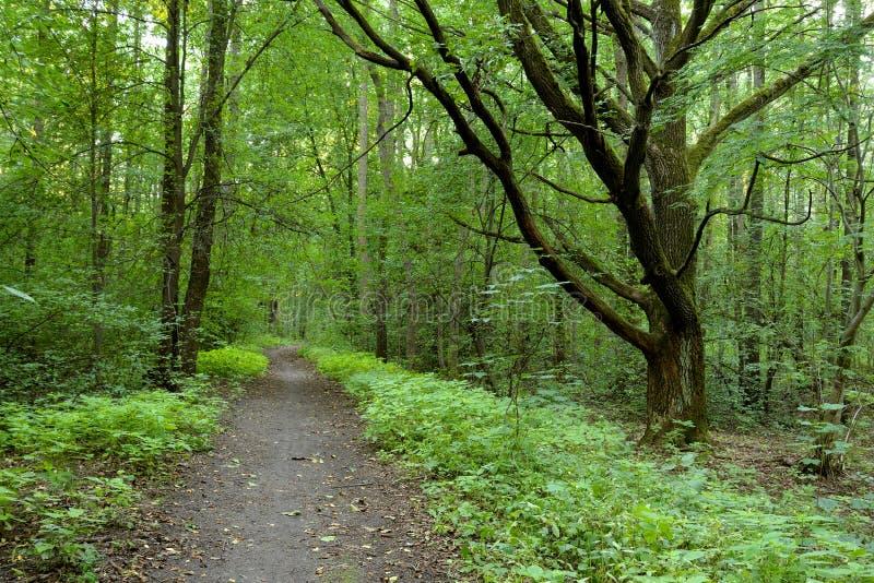 Deciduous las przy latem obrazy royalty free