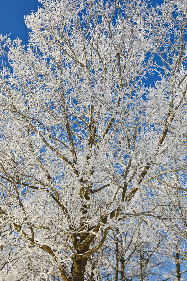 Download Deciduous tree stock photo. Image of forest, frost, scene - 22383570
