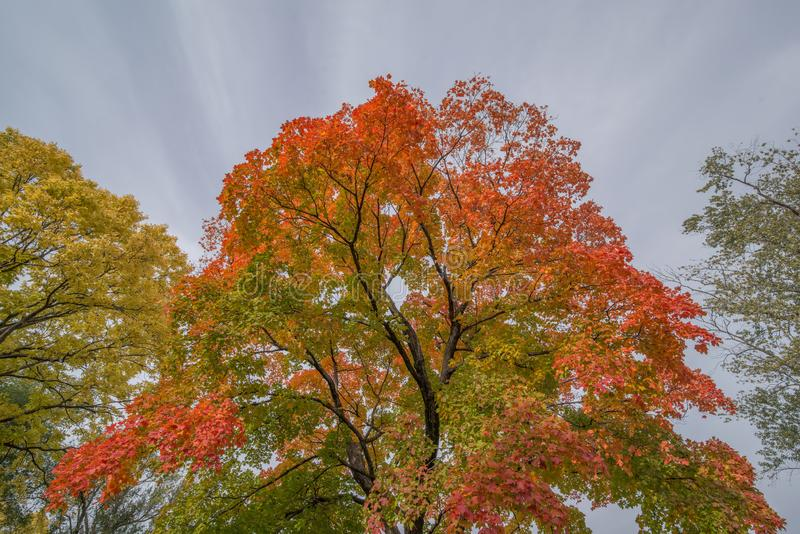 Deciduous tree in Autumn with striking fall colorful leaves of orange, red, green, and yellow and unique beautiful cloud stripes - royalty free stock photo