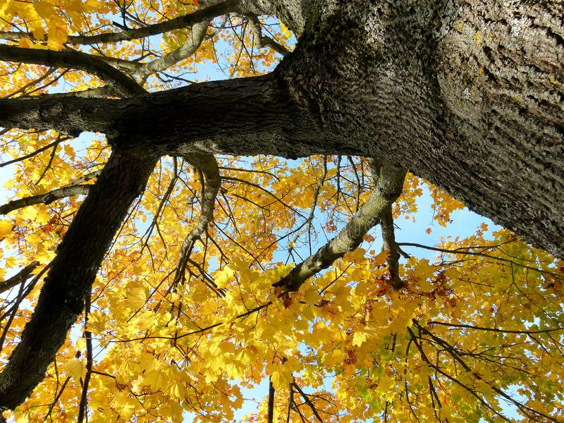 Imposing ahron tree in steep perspective with golden yellow leaves roof with blue sky  2 stock photography