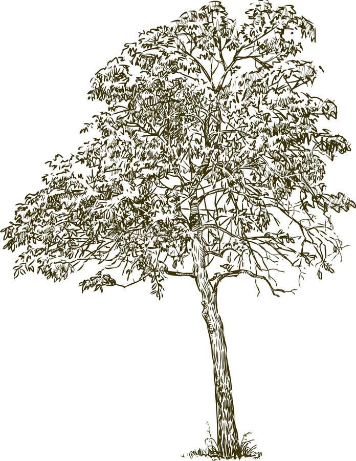 Deciduous tree vector illustration