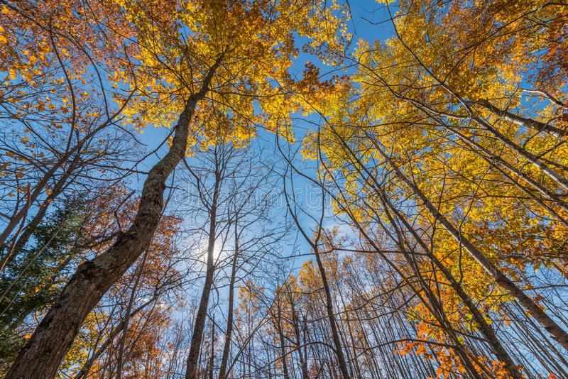 Deciduous trees in Autumn with some fall colorful leaves in Governor Knowles State Forest in Northern Wisconsin - looking from gro. Und up to the sky royalty free stock photos