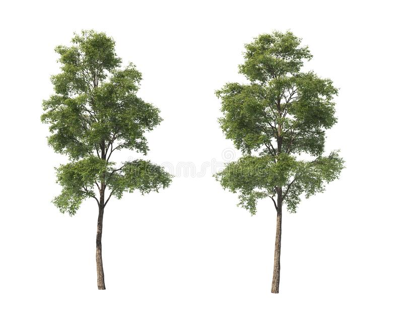 Deciduous trees on an isolated background stock photography