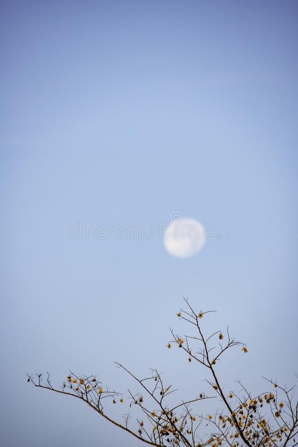 Deciduous trees and seeds on the tree Background Moon in daylight On the bright sky stock images
