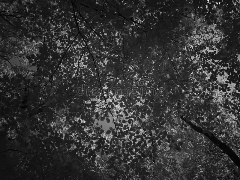 Deciduous Trees From Worm`s Eye View. Black and White Photography. royalty free stock photos