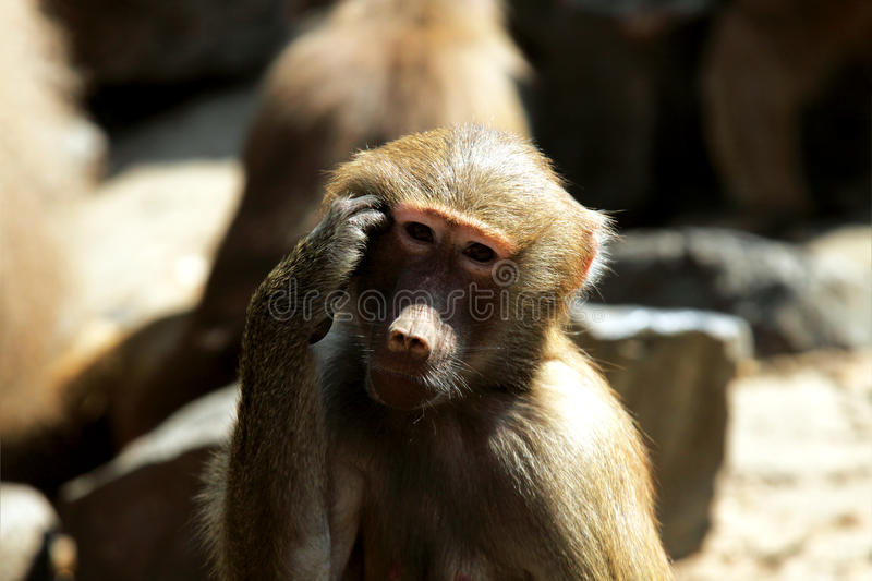 Download Decision stock image. Image of closeup, baboon, female - 20621847