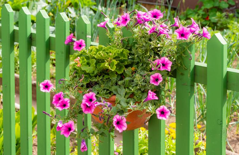 Deco λουλουδιών πετουνιών σε έναν ξύλινο φράκτη στοκ εικόνα με δικαίωμα ελεύθερης χρήσης