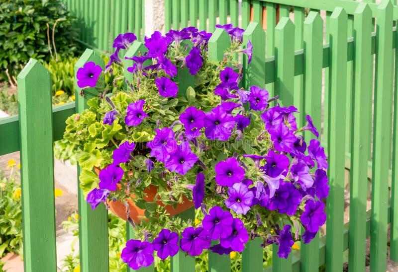 Deco λουλουδιών πετουνιών σε έναν ξύλινο φράκτη στοκ φωτογραφίες με δικαίωμα ελεύθερης χρήσης