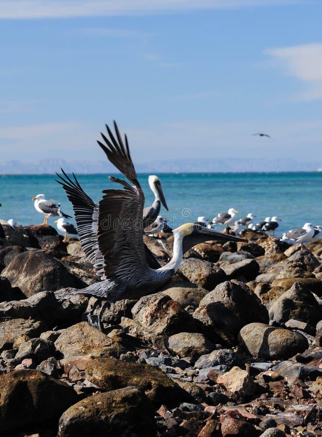 Decolagem do pelicano foto de stock