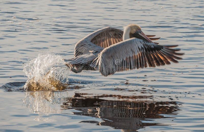Decolagem do pelicano imagens de stock