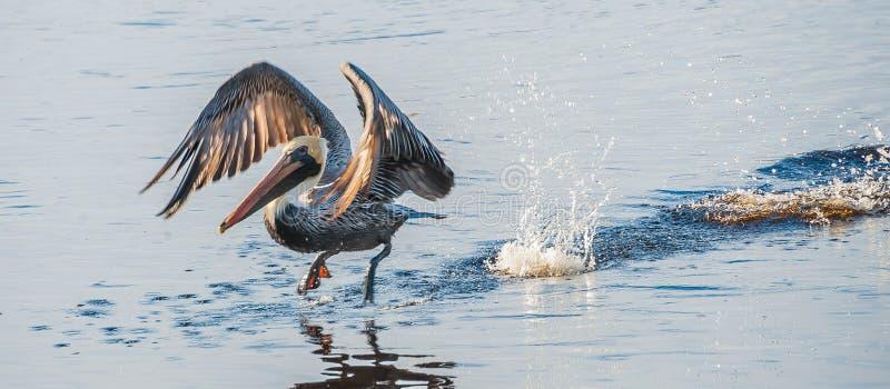 Decolagem do pelicano fotos de stock