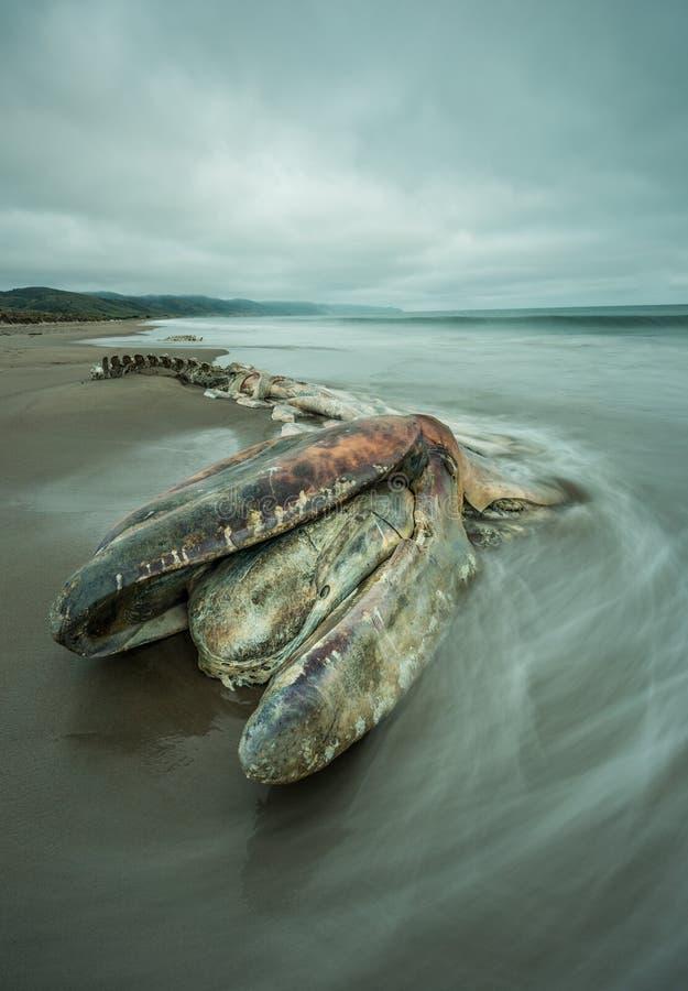 Decomposed encalhou a baleia com água longa da exposição fotos de stock royalty free