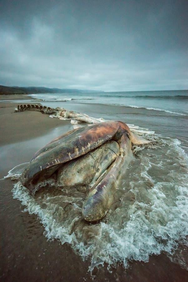 Decomposed encalhou a baleia com o oceano que flui para fotos de stock royalty free