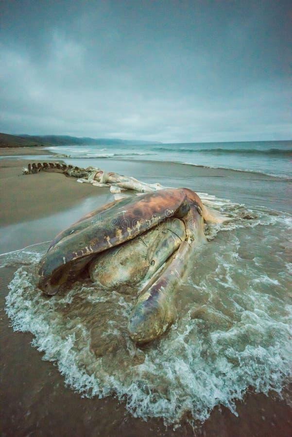 Decomposed encalhou a espinha dorsal da baleia com água móvel e as nuvens dramáticas fotos de stock royalty free