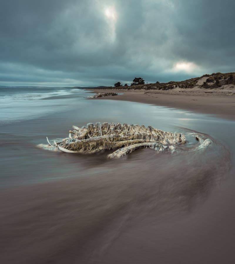 Decomposed setzte Walr?ckgrat mit bewegendem Wasser und drastischen Wolken auf den Strand stockbild