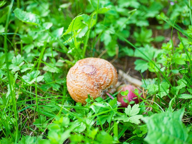 Decomposing red apples fallen on ground. Rotten brown apples in fruit garden on green grass. Autumn in garden stock photography
