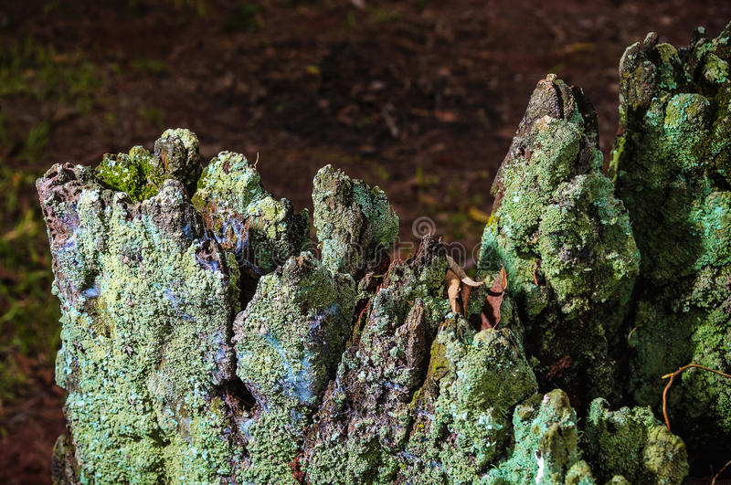 Decomposing tree trunk with bark covered by green moss. Tree trunk and bark texture stock photo