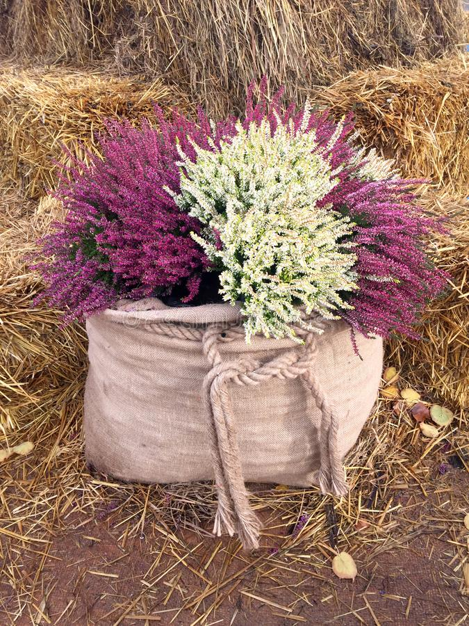 Decor with fall heather flowers in linen bags. stock photos