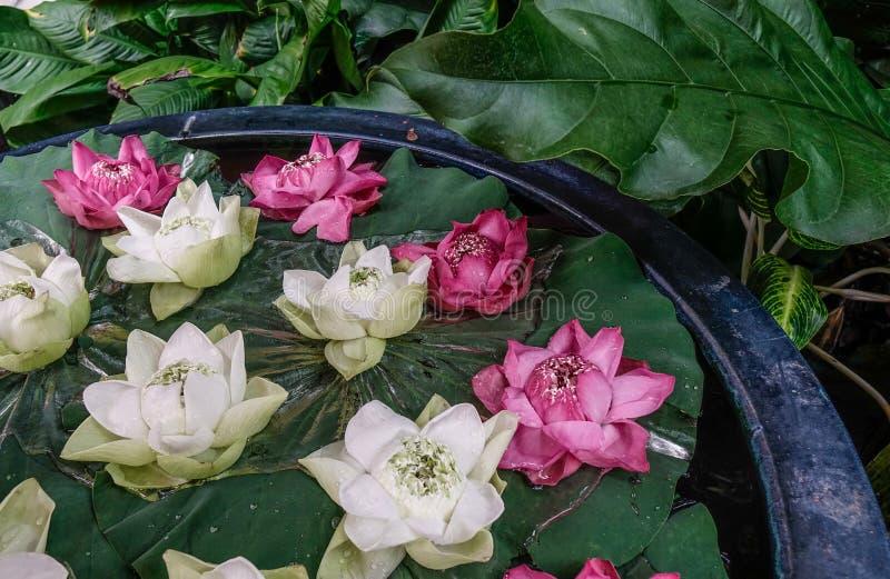 Decoração branca e cor-de-rosa da flor de lótus fotografia de stock royalty free
