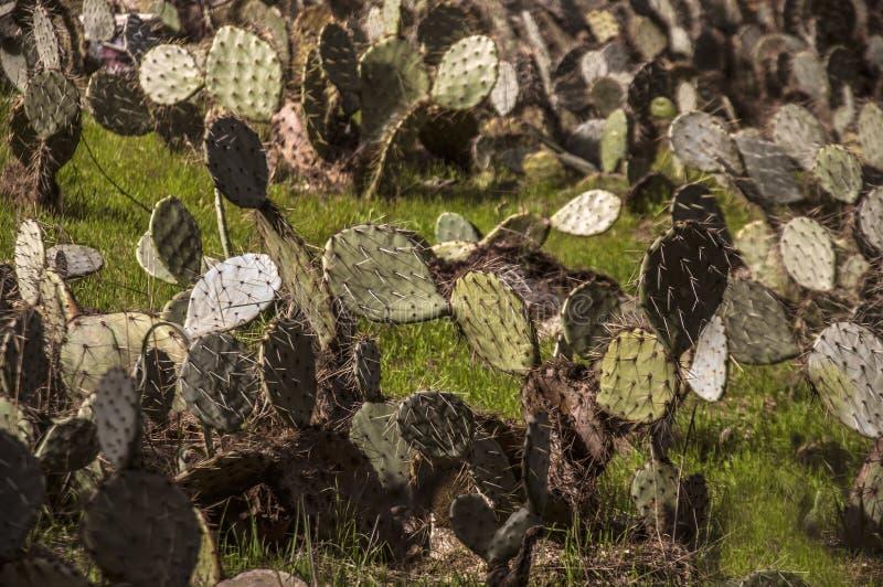 Decoração com plantas Decoração da planta Plantas decorativas A exploração agrícola e o jardim do cacto em cactos de Baku folheia fotografia de stock