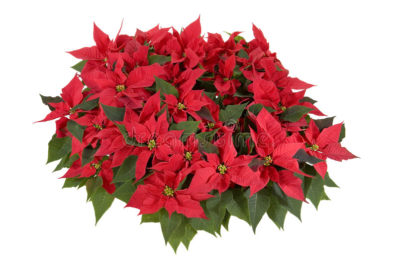 Decorações do Natal - Poinsettia vermelho imagens de stock royalty free