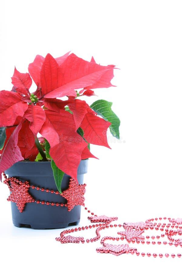 Decoración de los Poinsettias imagen de archivo libre de regalías