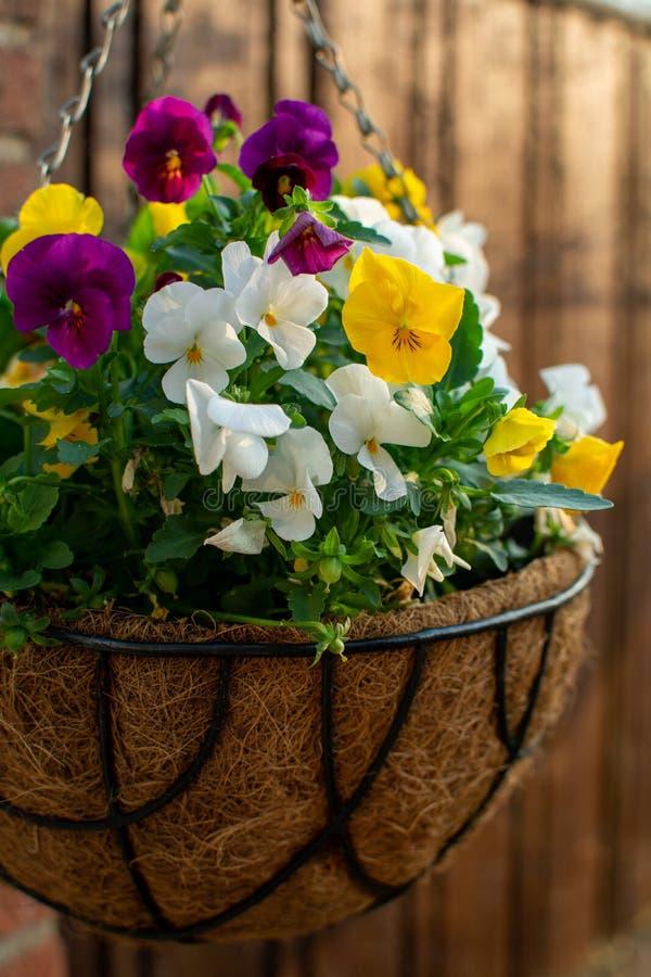Decoración del jardín, flores coloridas de los pensamientos en un cierre del pote de la ejecución del coco para arriba foto de archivo