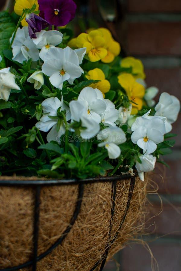 Decoración del jardín, flores coloridas de los pensamientos en un cierre del pote de la ejecución del coco para arriba foto de archivo libre de regalías