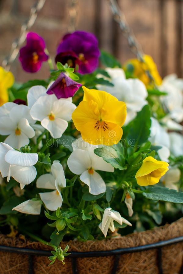 Decoración del jardín, flores coloridas de los pensamientos en un cierre del pote de la ejecución del coco para arriba imagenes de archivo