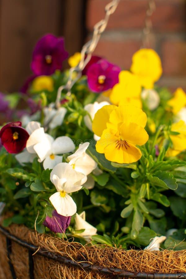 Decoración del jardín, flores coloridas de los pensamientos en un cierre del pote de la ejecución del coco para arriba fotos de archivo libres de regalías