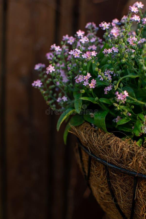 Decoración del jardín, flores de las nomeolvides del pnk en un cierre del pote de la ejecución del coco para arriba fotos de archivo libres de regalías